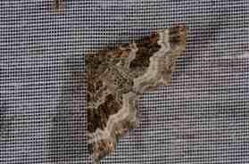 Chasse Aux Papillons - Amuré - 04-09-2014-Epirrhoe alternata
