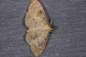 Chasse Aux Papillons - Amuré - 04-09-2014-pleuroptya ruralis