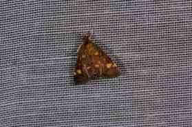 Chasse Aux Papillons - Amuré - 04-09-2014-pyrausta aurata-1