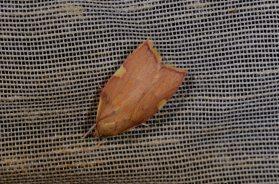 Chasse Aux Papillons - Chizé - 08-09-2012 - Carcina quercana