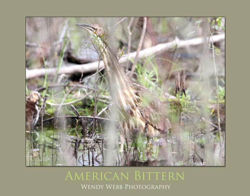 American-Bittern-2