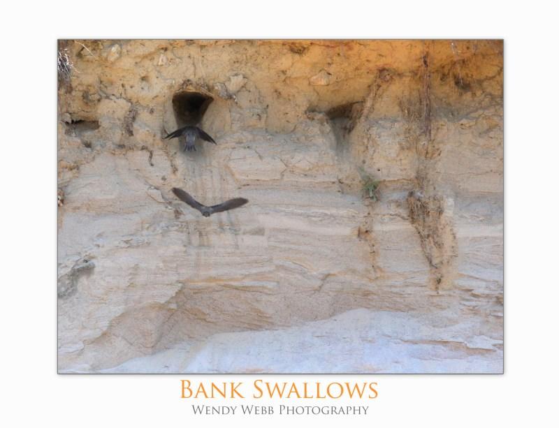 Bankswallows