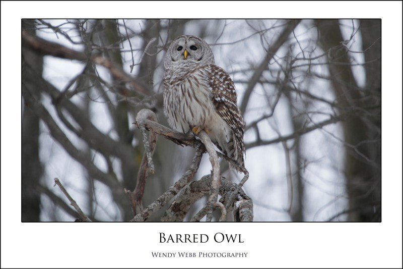 Barred owl perching