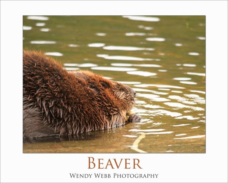 Beaverb