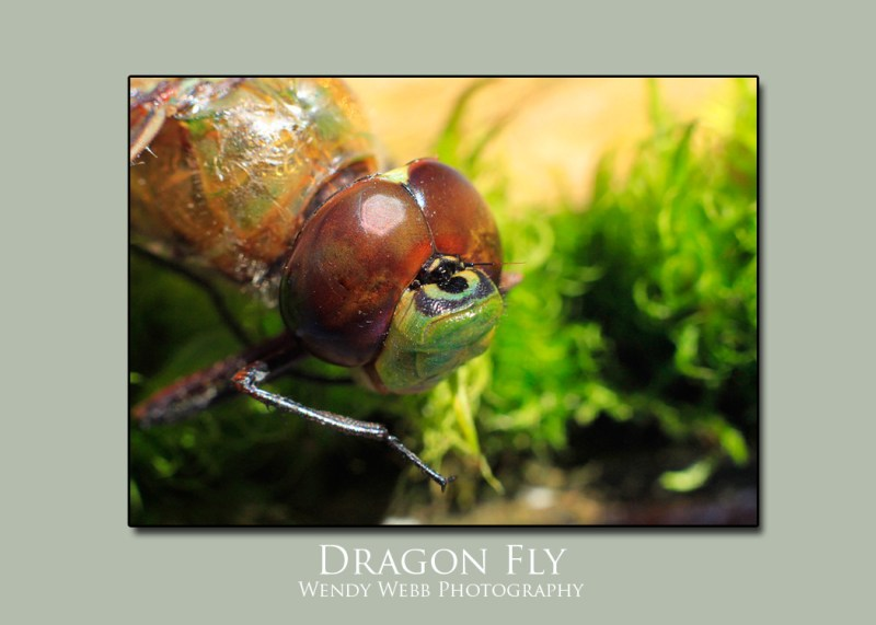 Dragon-fly-macro1