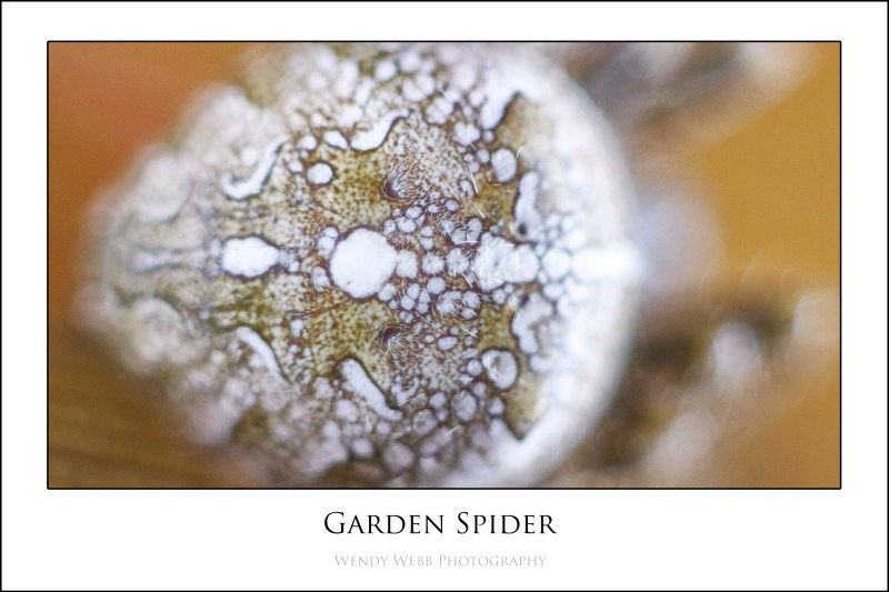 Garden Spider 2
