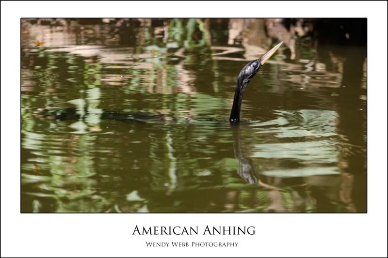 american-anhing