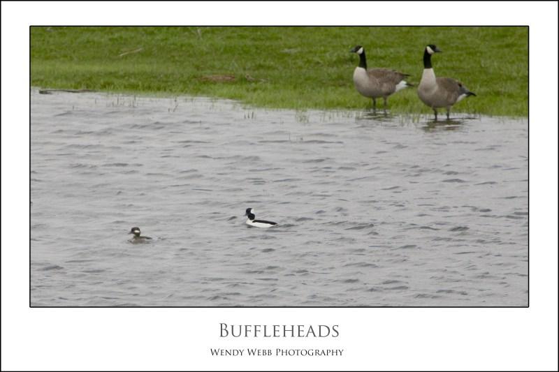 buffleheads
