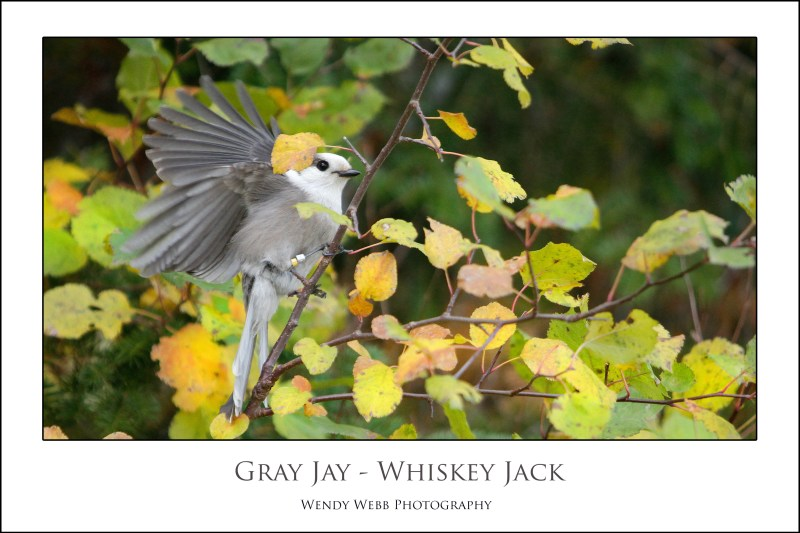 gray-jay-whiskey-jack