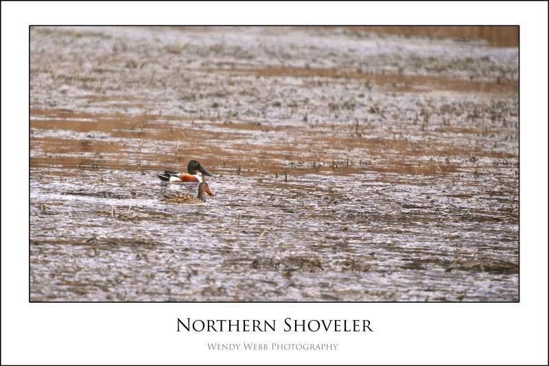 northern shovler