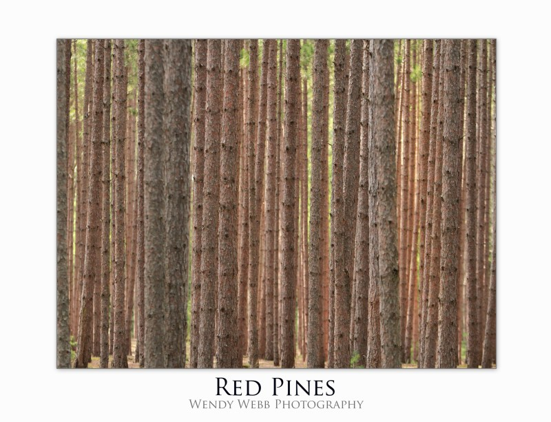 red pines copy