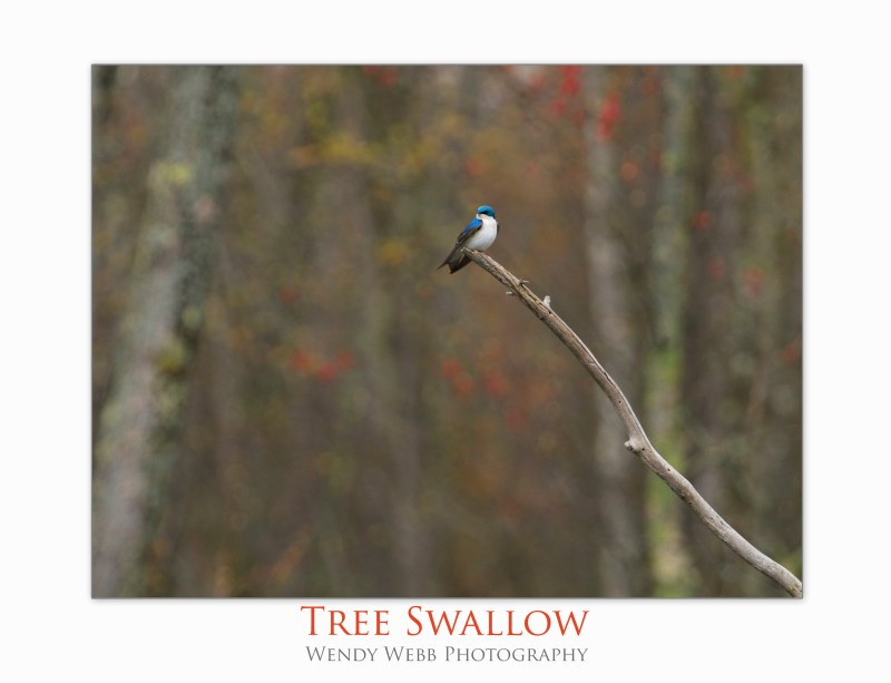 tree swallow3