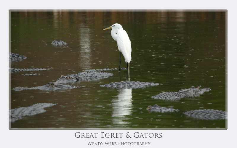great egret gators