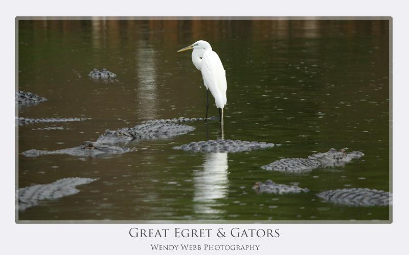 great egret gators