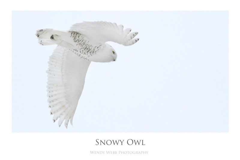 snow owl nov 2014