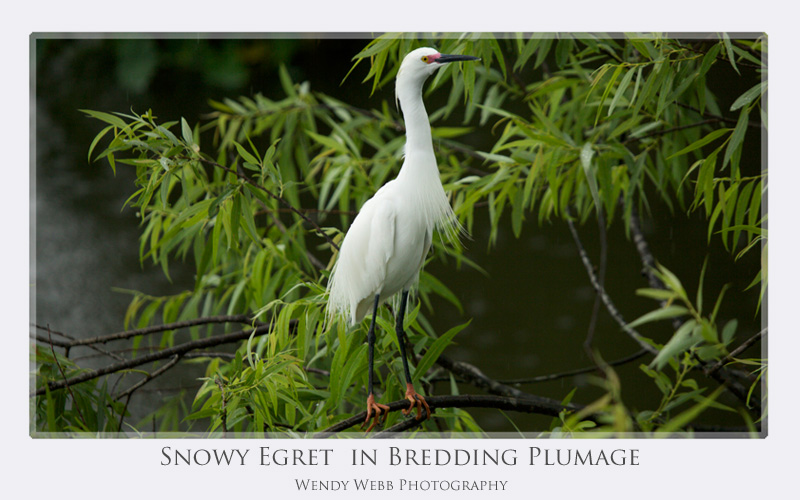snowy breeding plumage
