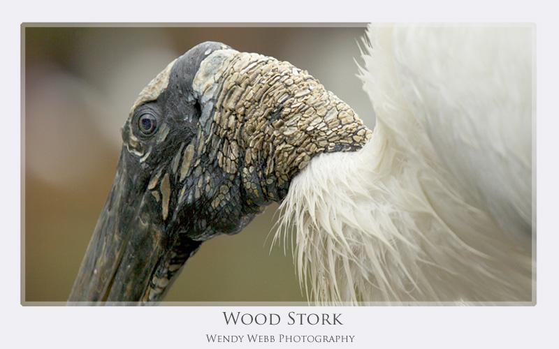 wood stork head