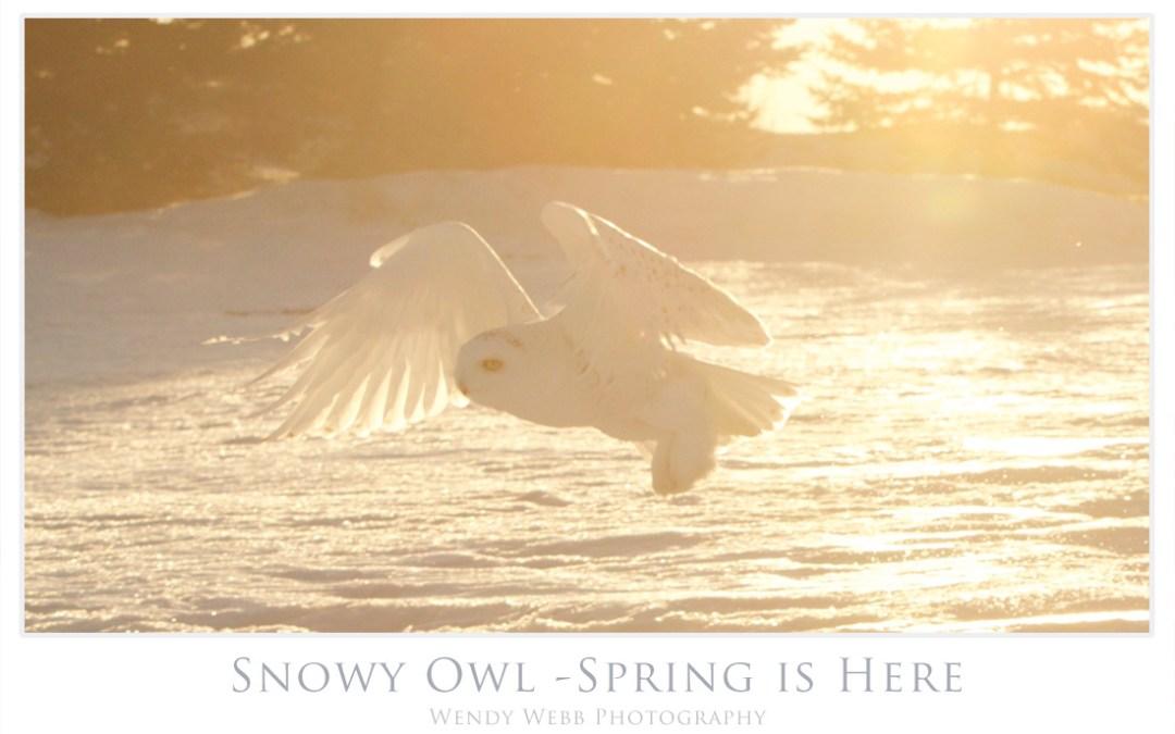 Snowy Owl – spring sun