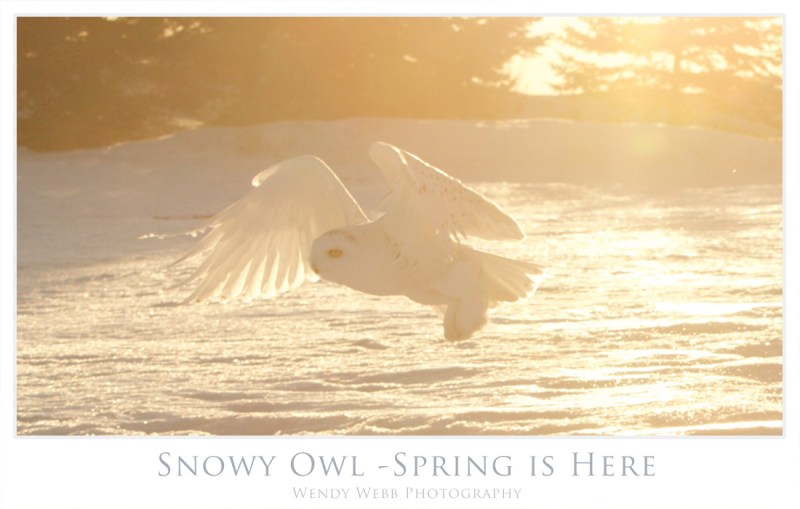 snowy owl spring