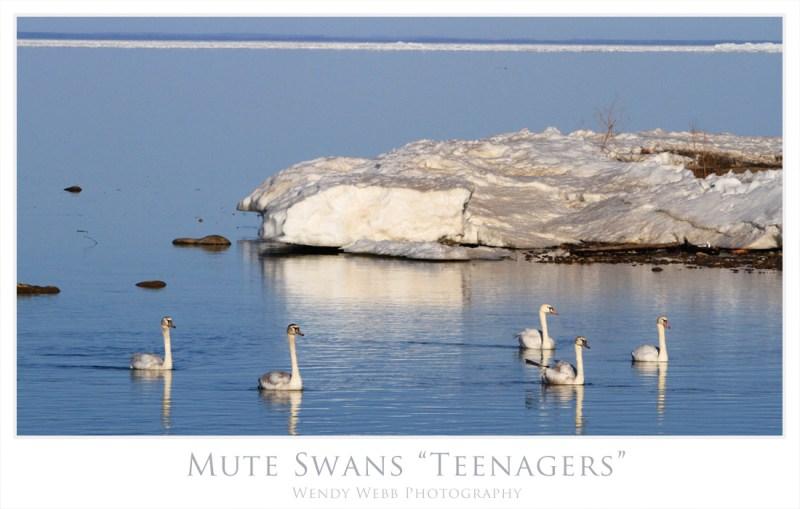 mute swans teenagers