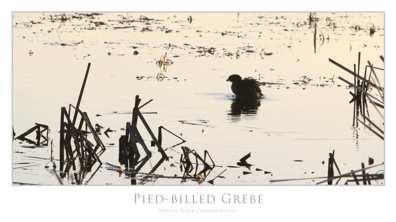 grebe pied-billed