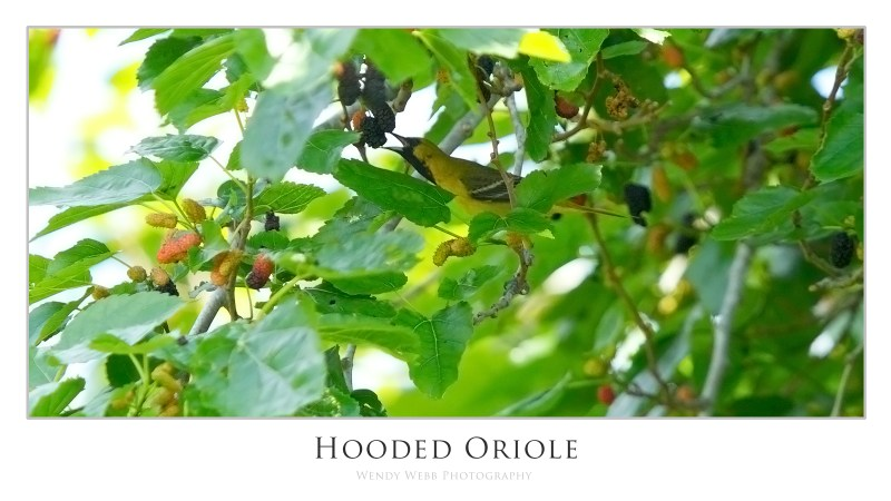 hooded oriole two