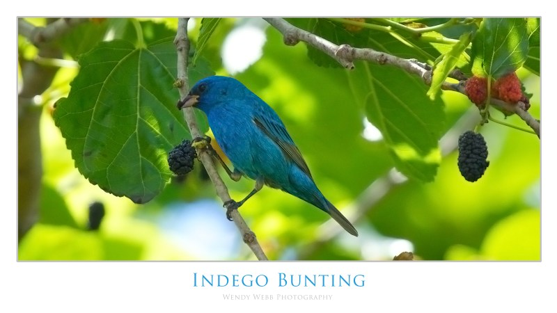 indego bunting 1