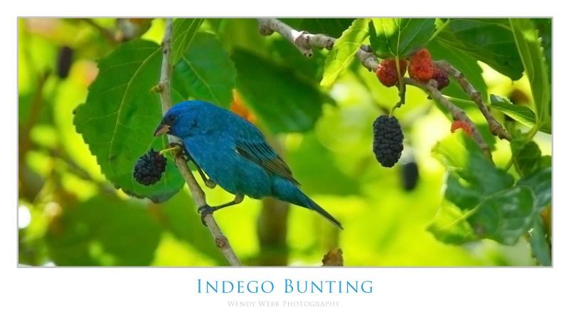 indego bunting 2