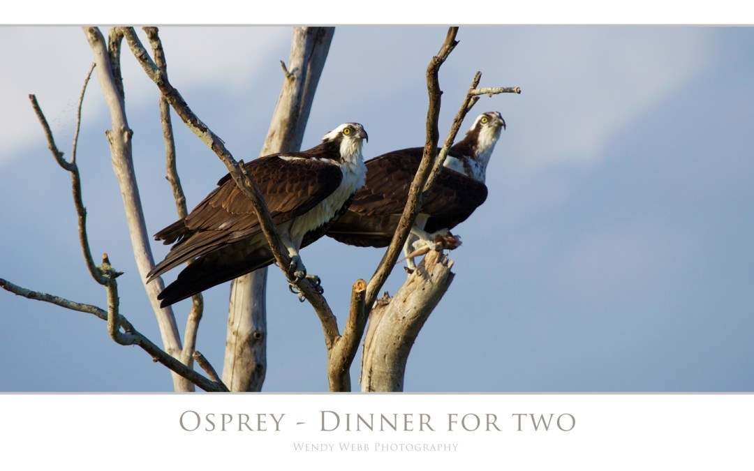 "Osprey ""bringing home the dinner"""