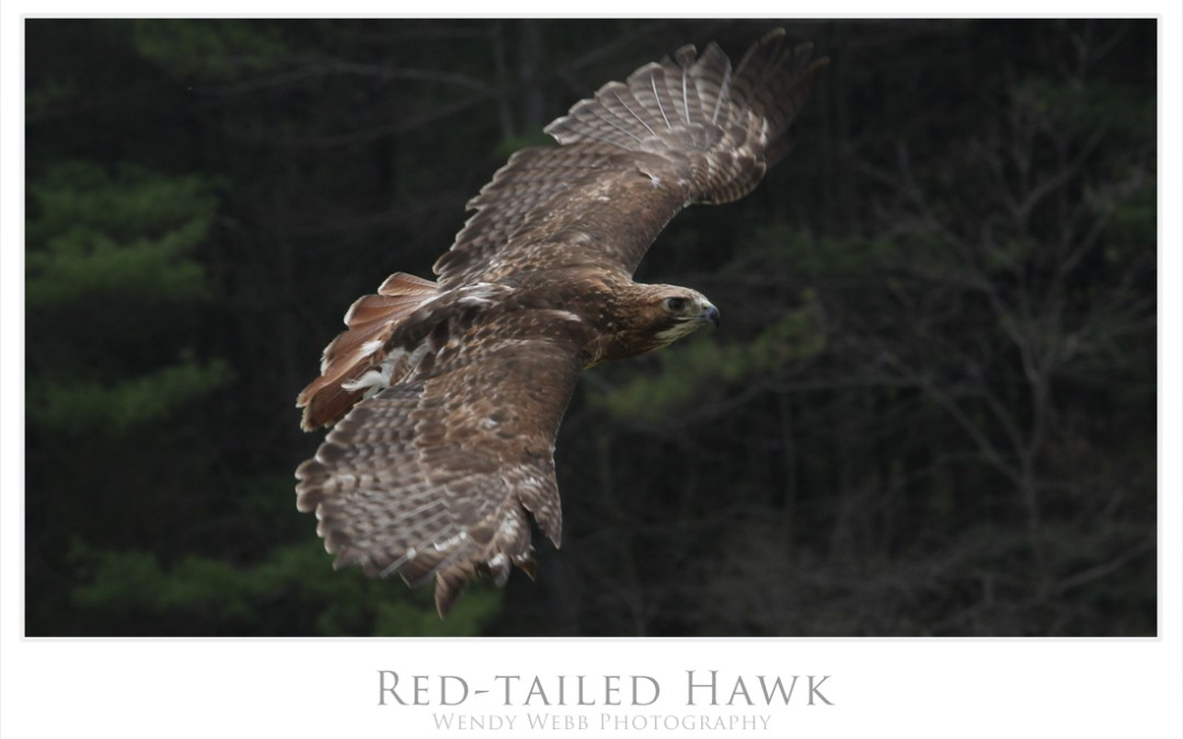Red-tail strength in flight