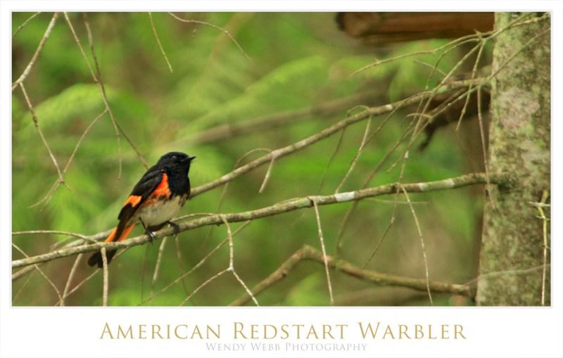 American Redstart Warbler 3