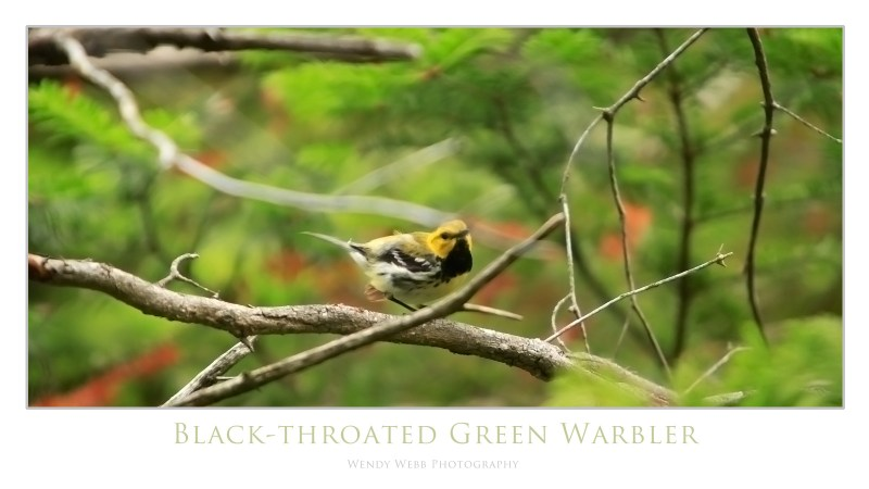 black throated green warbler 3