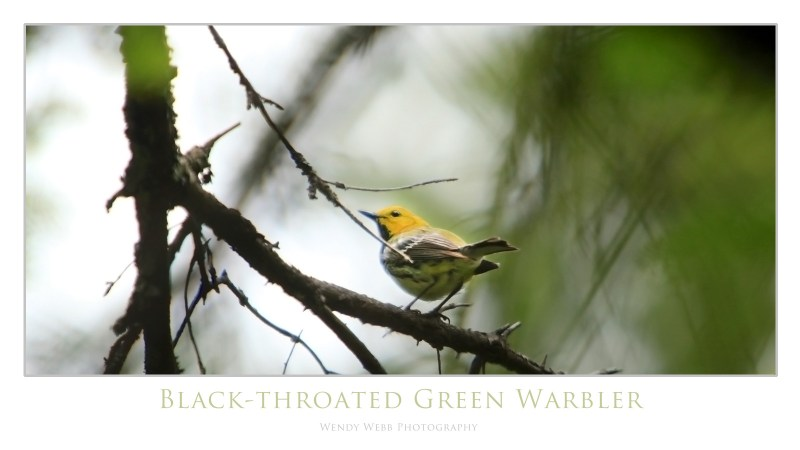 black throated green warbler 4