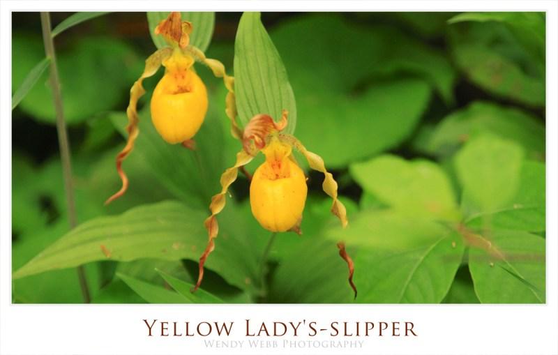 ladys-slipper2