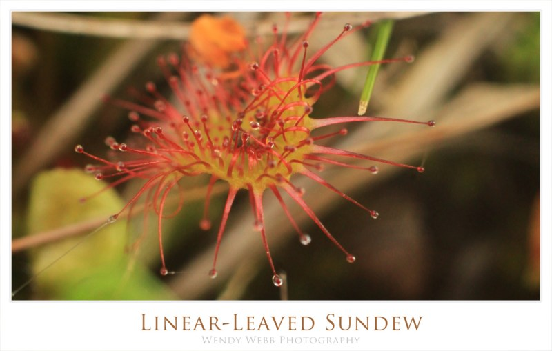 Linear-Leaved Sundew
