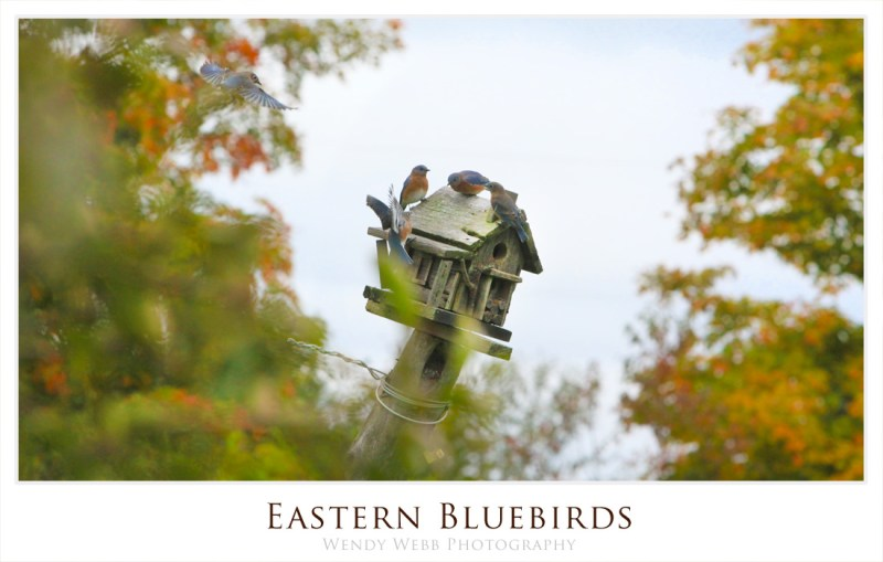 Eastern bluebirls thanksgiving