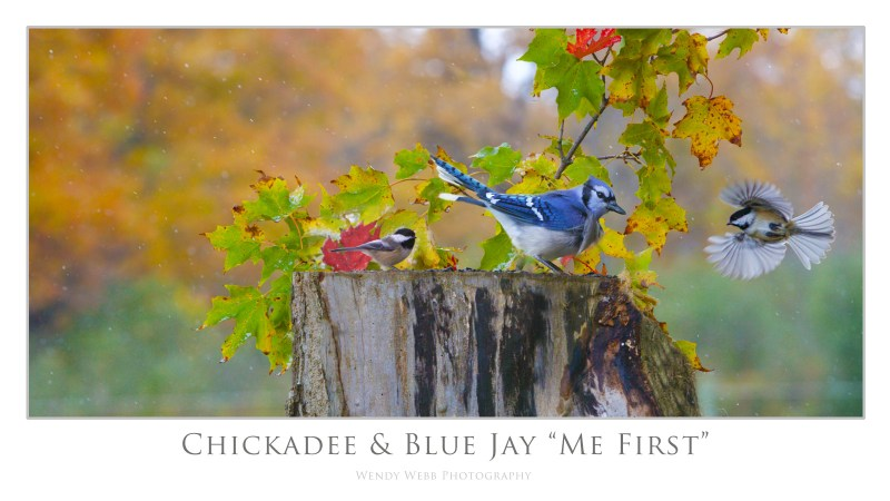 chickadee and jay