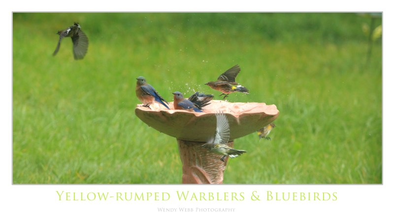yellow-rumped warblers and bluebirds