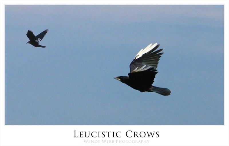 Crows, Leucistic