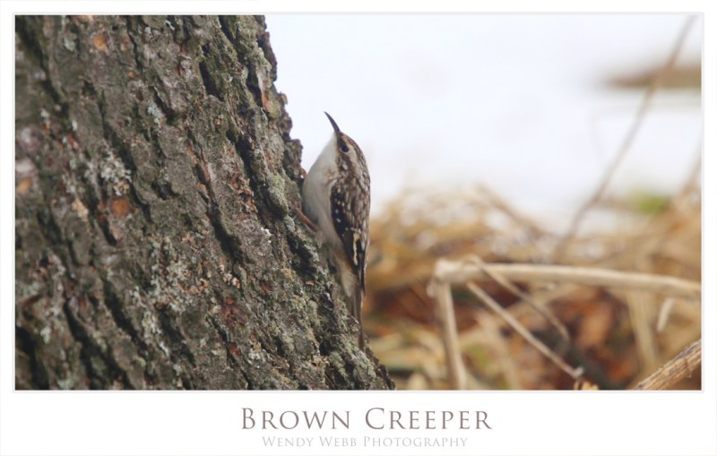 Brown Creeper 3