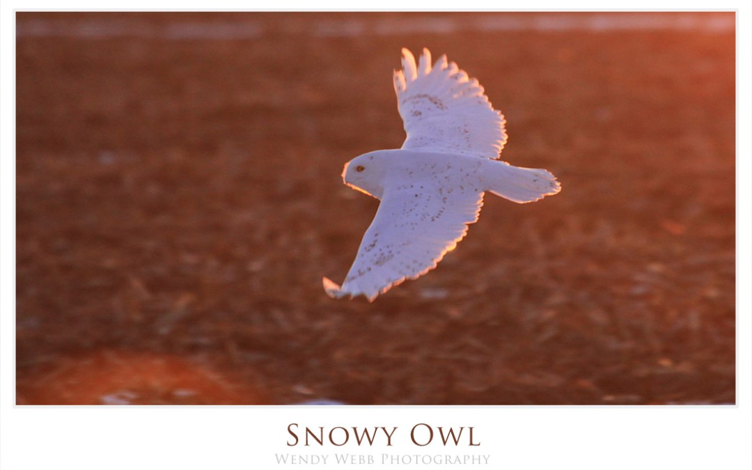 Snowy Owl sunset