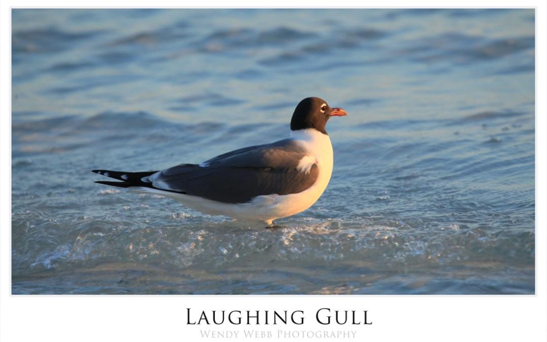 Laughing Gulls #174