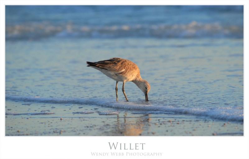 willet 1