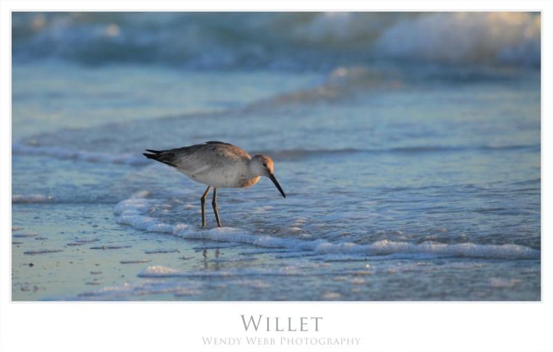 willet 3