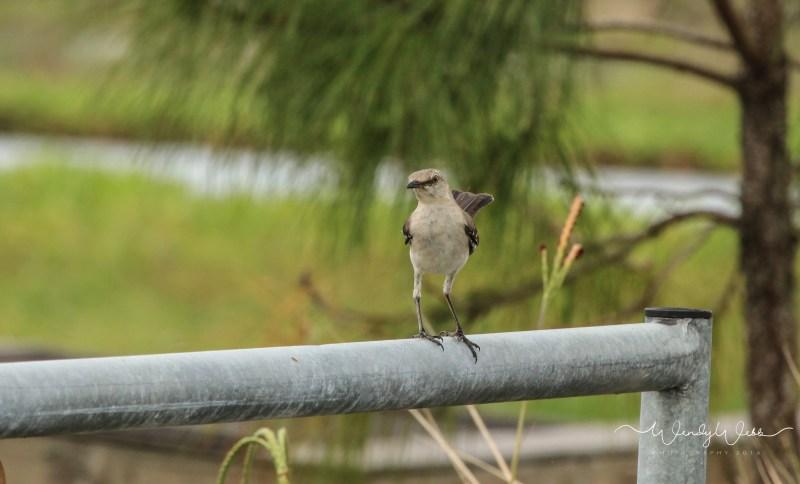 Mockingbird 5