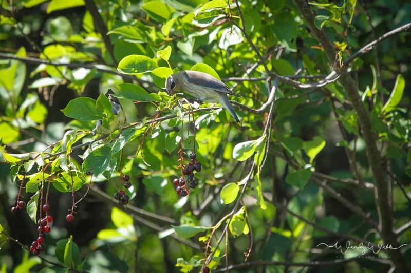 Cedar Waxwings Juv._-2