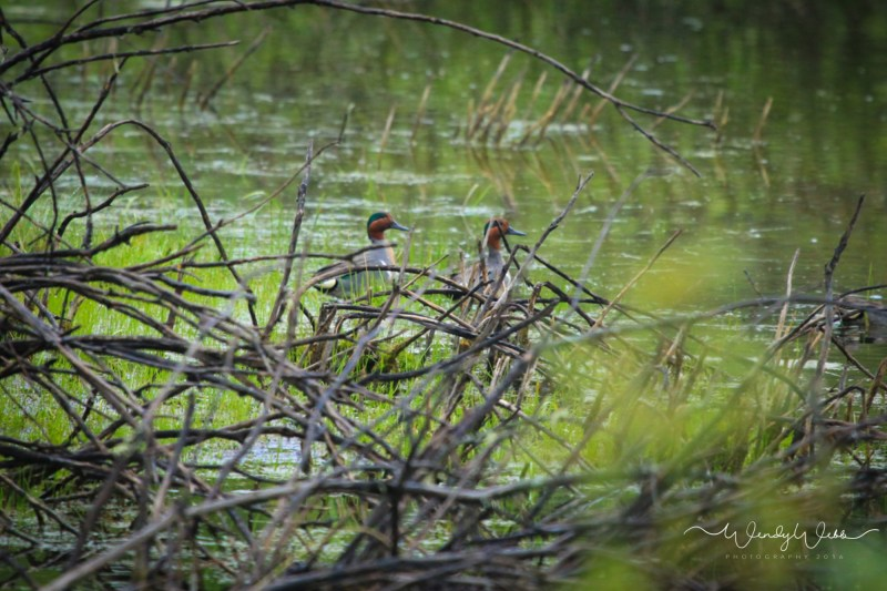 Green Winged Teal - 1