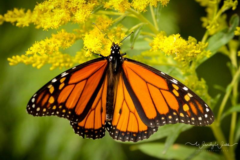 Monarch_-3