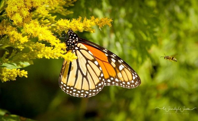 Monarch_