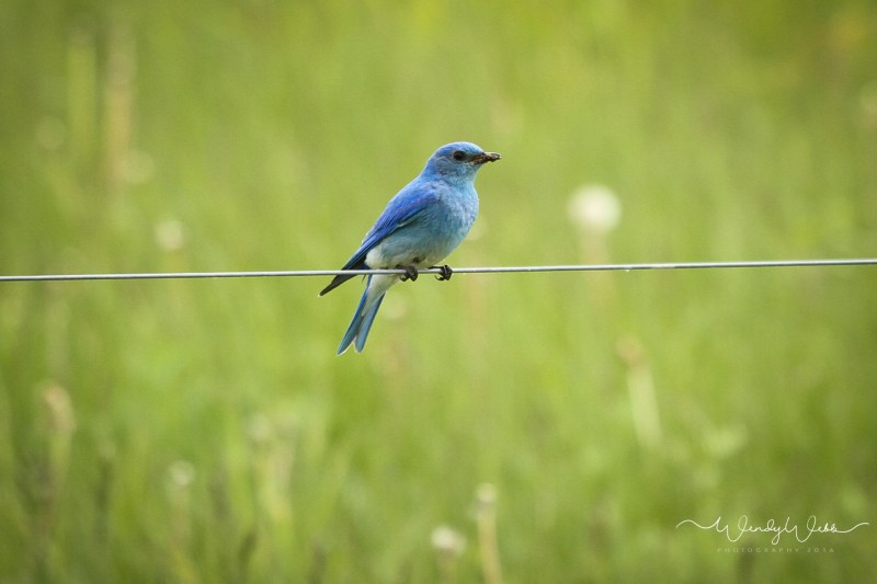 Mountain blue birds - 10